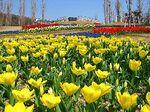 明石海峡公園のチューリップ畑